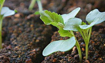 Ранняя капуста: выращиваем рассаду
