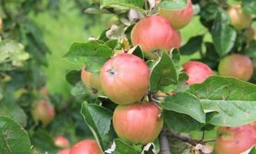 Как защитить яблоню от ожогов хабаровской весной