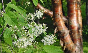 Черемуха или вишня? Маака в хабаровском саду