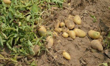 Выращиваем ранний картофель: опыт хабаровской дачницы