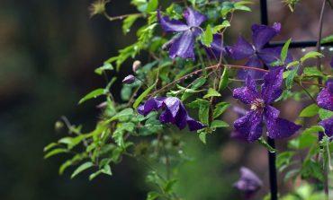 Клематис - цветущий декоратор садового участка