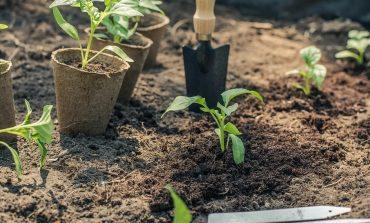 Переезд рассады на дачу: личный опыт огородника