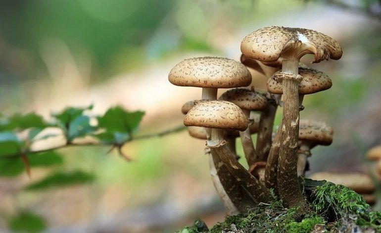 Хабаровчане выращивают грибы на дачных участках и в квартирах