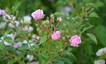 Как сохранить розовые кусты зимой?