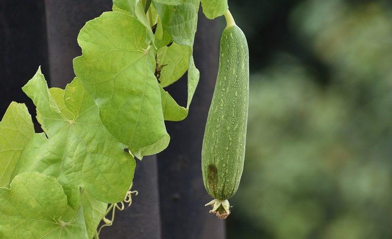 Выращиваем мочалку на грядке