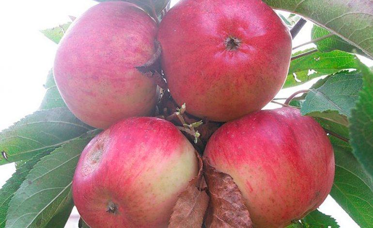 Почему сладкие яблочки стали кислыми: ответ хабаровского агронома