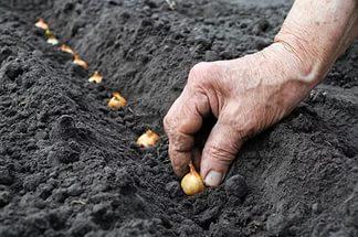 Омский опыт выращивания репчатого лука на хабаровской земле