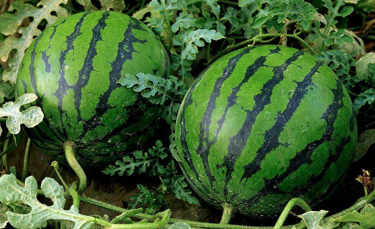 Секреты выращивания арбуза до 13 кг от хабаровской дачницы
