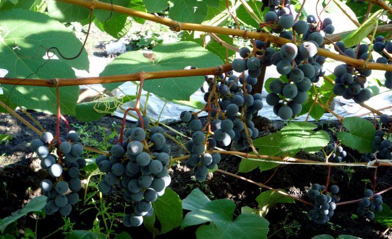 Сорта винограда приморской селекции, пригодные для Хабаровского края