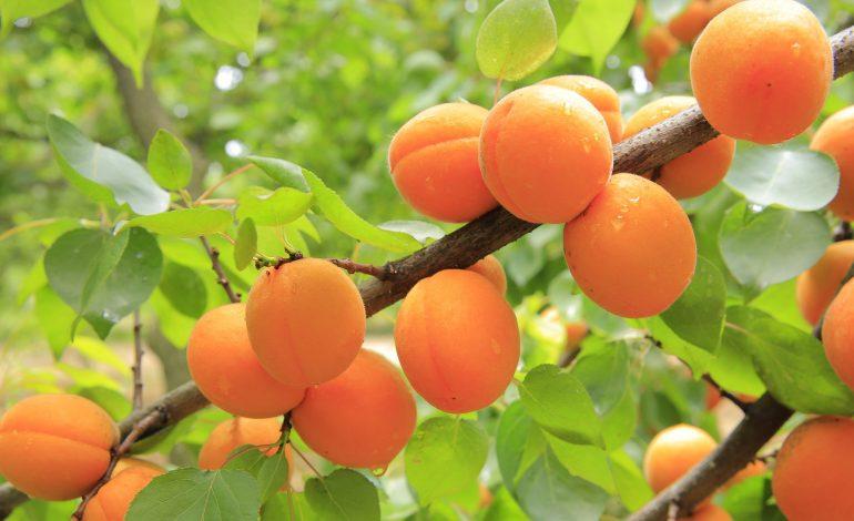 Как «обновить» абрикос
