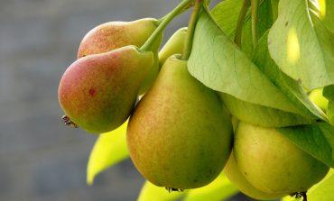 Как избавиться от парши на груше