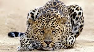 В Приморье автомобиль сбил леопарда