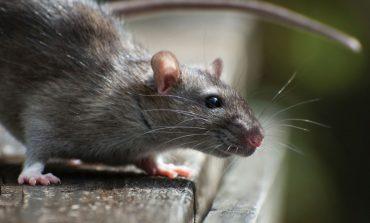 Нашествие крыс на Хабаровск: кошки не справляются