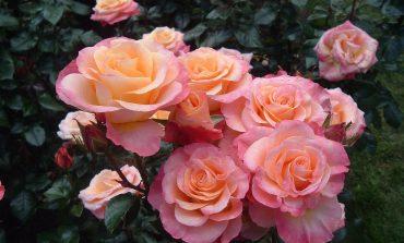 Черенкование роз в августе: хабаровский опыт