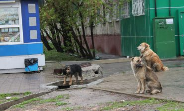 В Хабаровске ловить бродячих собак некому