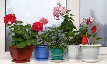 Комнатные цветы: что меняется от перемены места