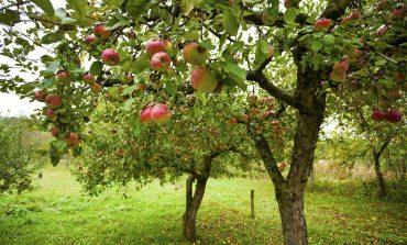 Дальневосточные сорта яблони
