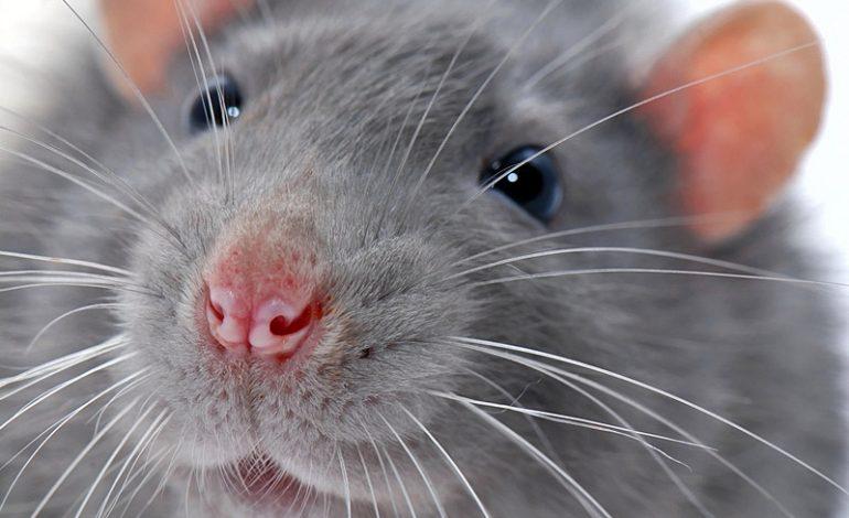 В Хабаровске отравят крыс
