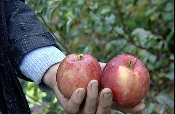Небывалый урожай яблок и ремонтантной малины собрали в этом году хабаровские садоводы