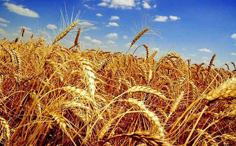 Ливни уничтожили часть урожая зерна в Хабаровском крае
