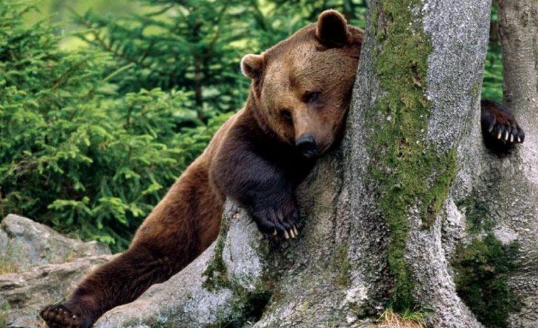 Зоологи отметили возросшую агрессивность медведей по отношению к людям