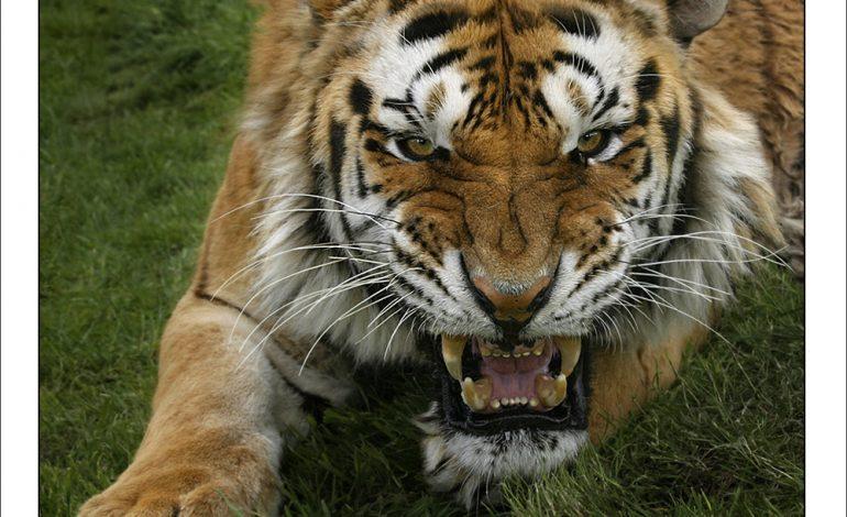 По пригороду Владивостока в панике мечется тигр (ВИДЕО)
