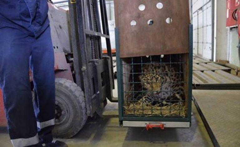 Самка дальневосточного леопарда прилетела в Приамурский зоосад