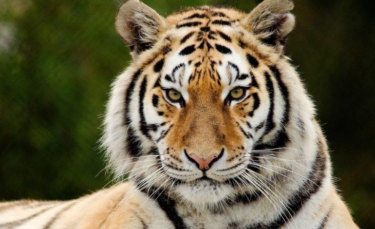 Тигра, гулявшего по Владивостоку поймали