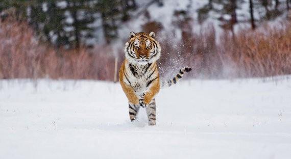 Из реабилитационного центра «Утес» сбежала тигрица