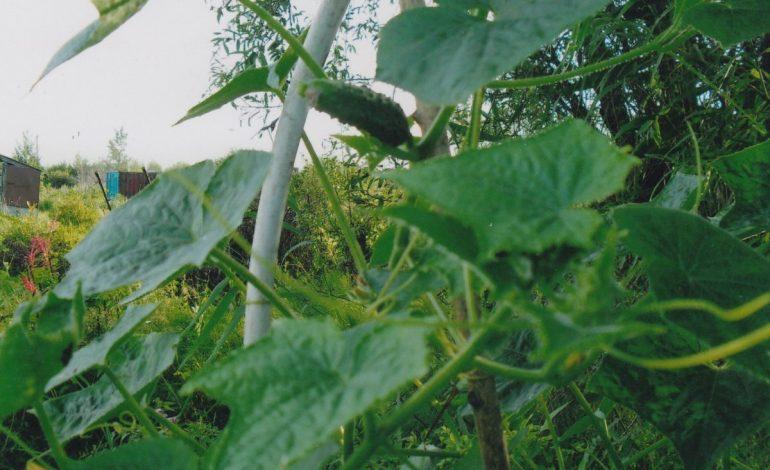 «Чудеса урожайные» от хабаровчанки Галины Бобриковой