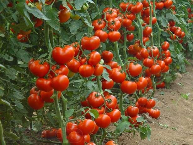 Любимые низкорослые томаты