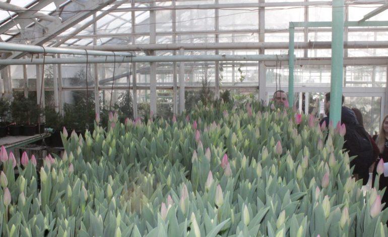 Тюльпаны к 8 марта уже выросли в хабаровских теплицах