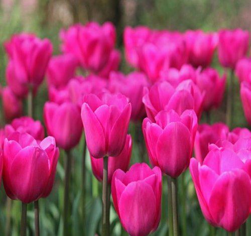 В Хабаровске вырастят 12 тысяч тюльпанов к 8 марта