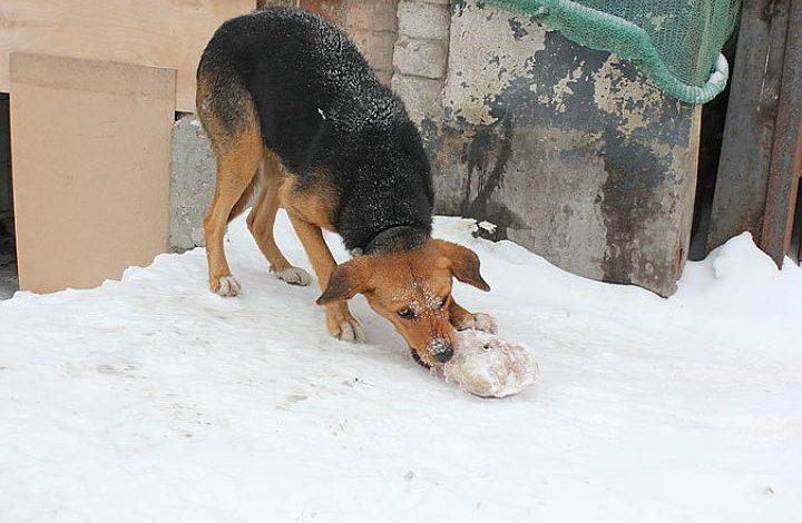 Догхантеры травят собак в Хабаровске средством для лечения туберкулеза