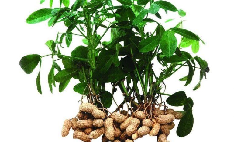 Как вырастить арахис в Хабаровском крае