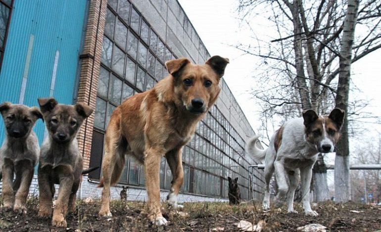 Денег нет: хабаровская администрация просит у края средства на отлов бродячих животных