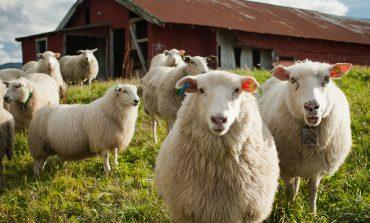 Бизнеc на гектаре: хабаровчанам предлагают заняться овцеводством