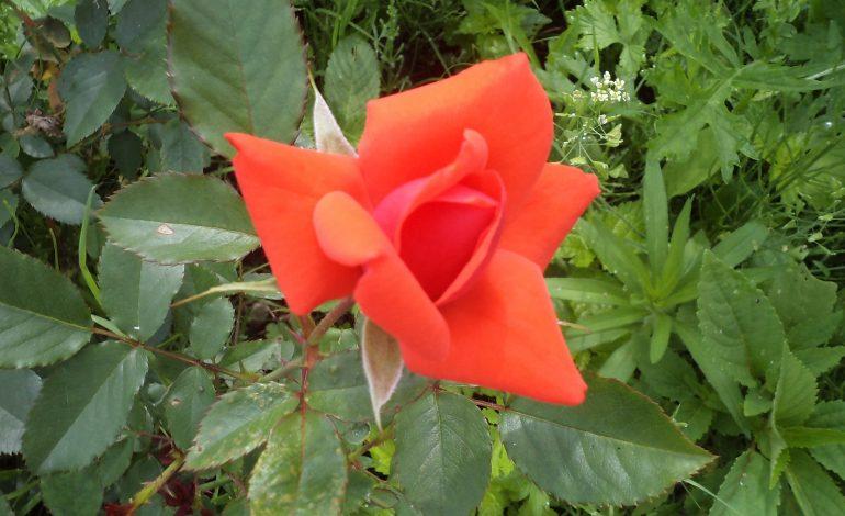 Как правильно розу обрезать?