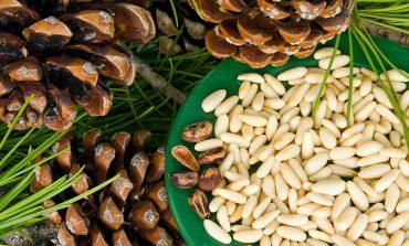 Бизнес на гектаре: кедровые орехи