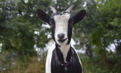 Бизнес на гектаре: разведение коз