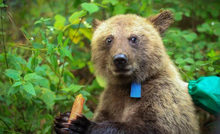 За морковкой и мясом: голодные медведи атакуют Хабаровский край