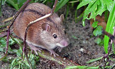 Можно ли употреблять в пищу погрызенный мышами корнеплод