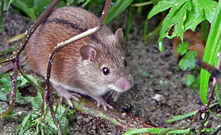 Можно ли употреблять в пищу погрызеный мышами корнеплод