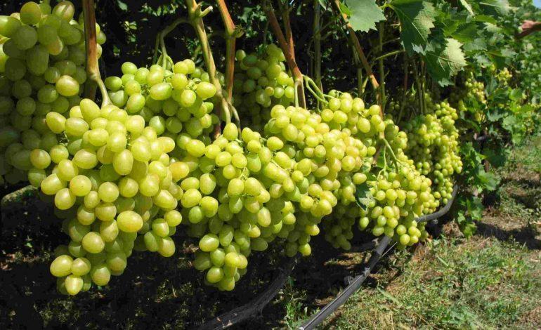 Нетипичные посадки: хабаровчане осваивают новые сорта винограда