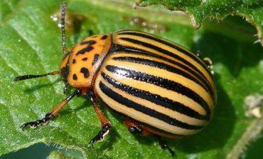 В селе Некрасовка обнаружен колорадский жук