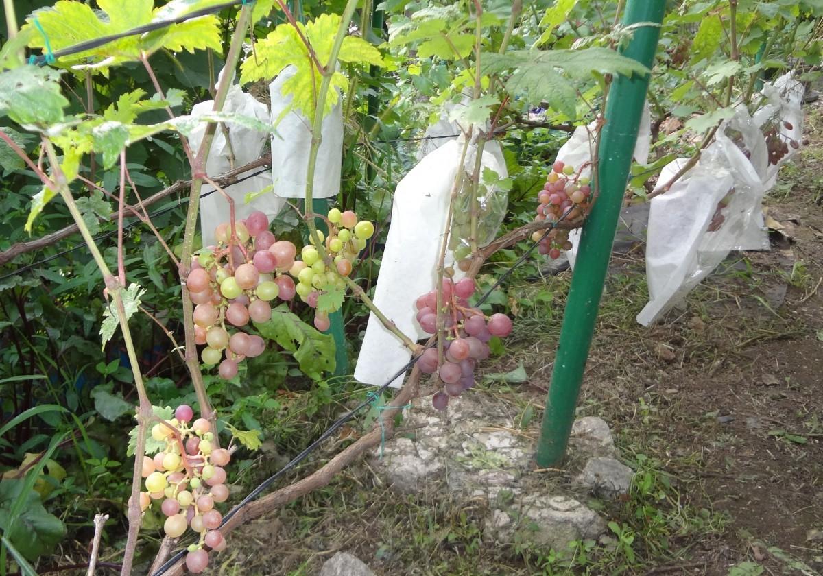 выращивание винограда хабаровск