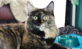 Выставка кошек в Хабаровске: более полусотни редких и популярных пород