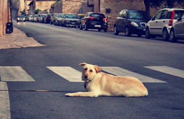 ДТП с домашними животными