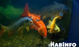 Музей в аквариуме: где в Хабаровске можно увидеть доступную рыбу