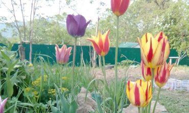 Как сохранить тюльпаны из букета